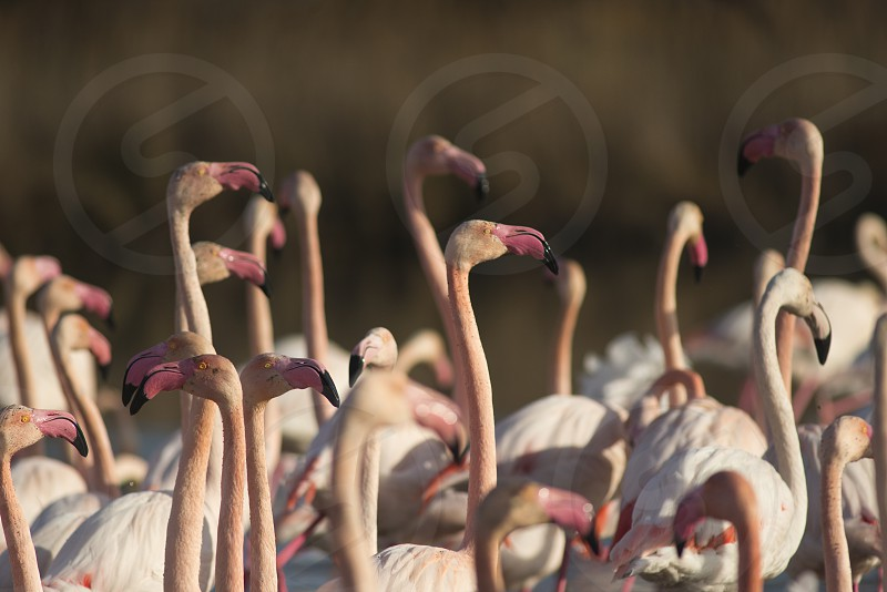 Camargue - Flamand Rose photo