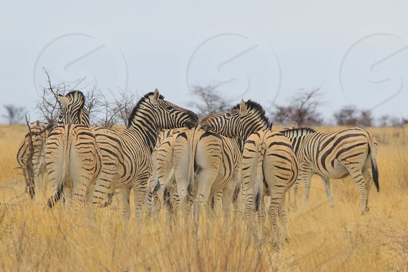 Burchell's Zebra kiss (or so it seems like) over the rear end of another creating an image of humor and hilarious nature.  Photographed in the wilds of Namibia southwestern Africa.  photo