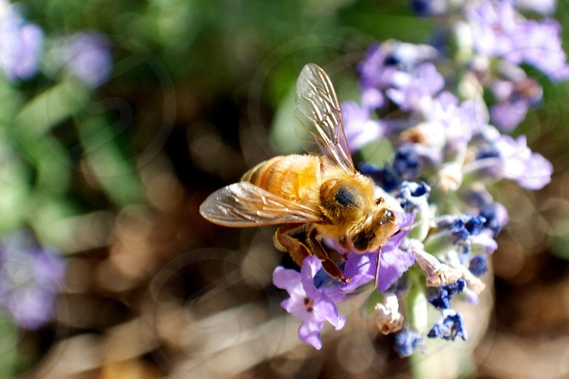 A Bee on a lavender flower. photo