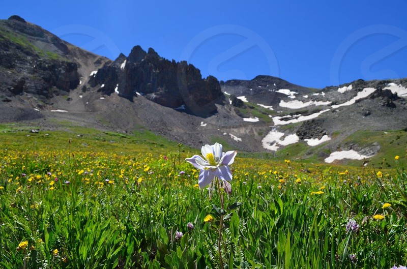 Colorado columbine at 14000 feet photo