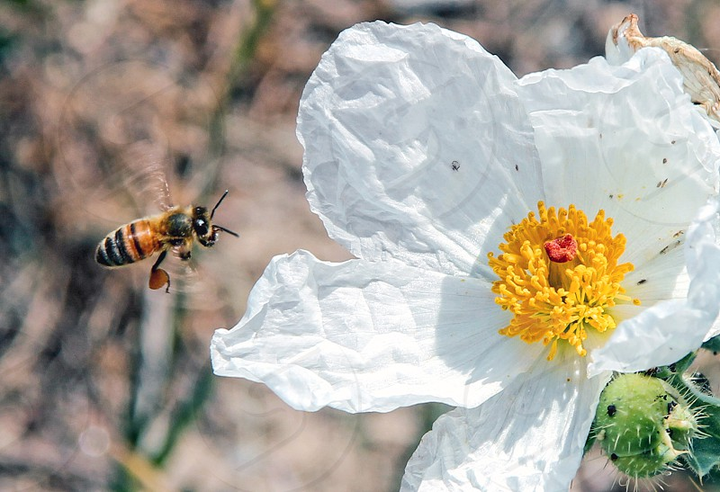 Bee and flower photo