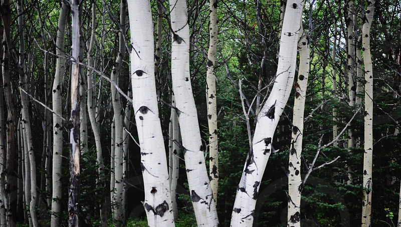 Birch forest woods nature outdoor outdoors trees tree trunk bark white eerie summer hiking camping eyes watching watched photo