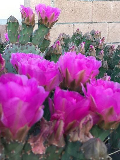 Purple cactus flowers springtime desert flora desert in bloom bright colorful macro photo