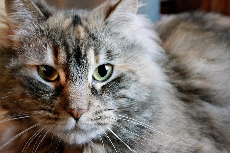 long-haired cat furry soft green eyes fluffy brown feline whiskers photo