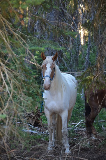 White & tan horse in woods photo