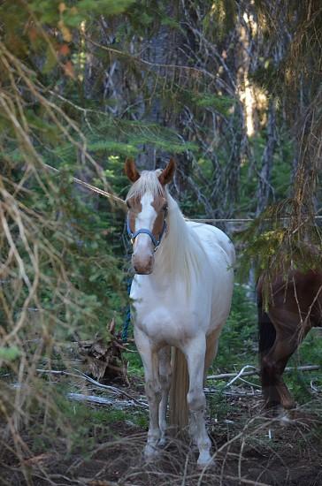 Horse tied to tree photo