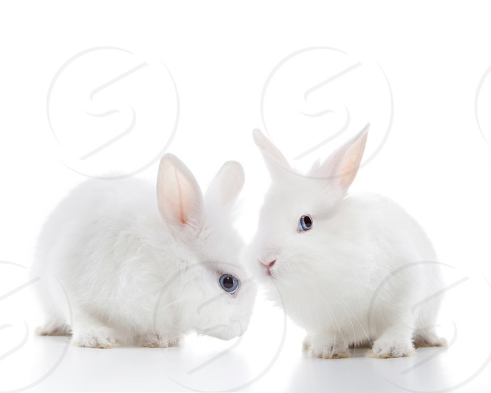Two white rabbits isolated on a white background photo
