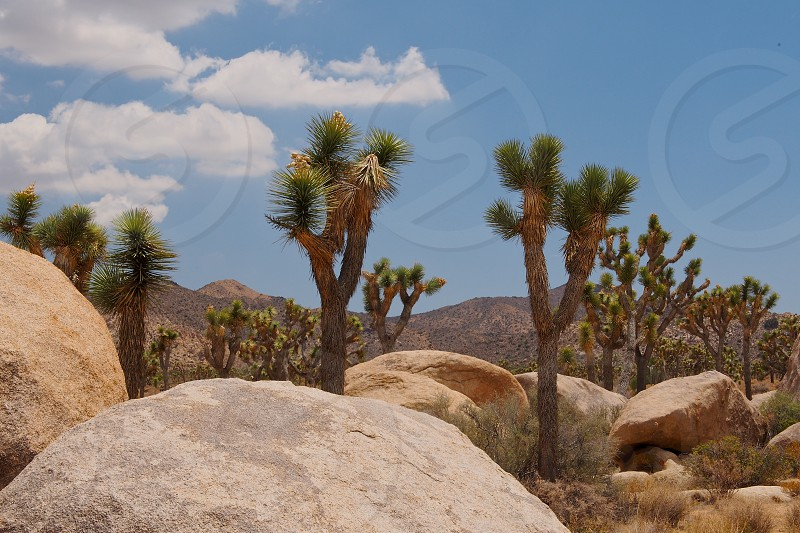 Stand of Joshua trees in desert. Rocks. Mountains. White clouds. Blue sky. Summer. Hot. Heat.  photo
