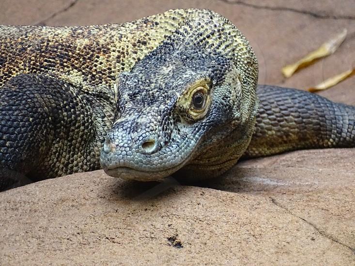 Komodo Dragon (Species Lizard)                                photo