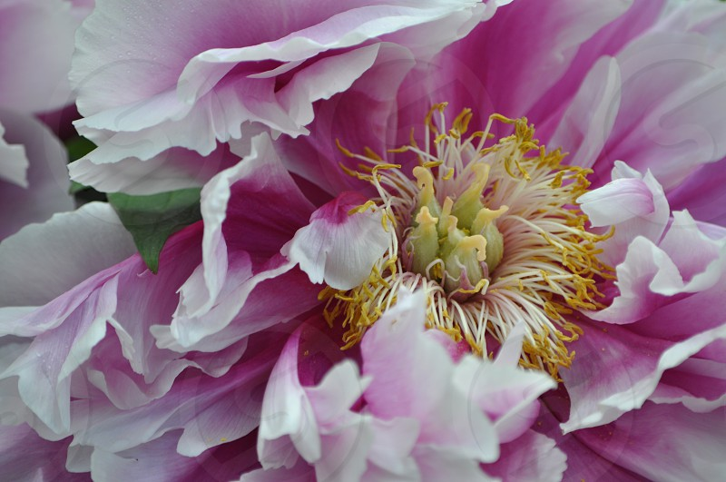 focus photo of pink and white petaled flower photo