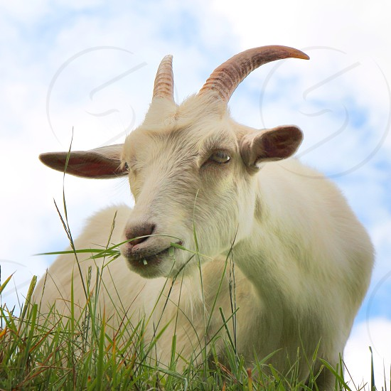 white goat with horns  photo