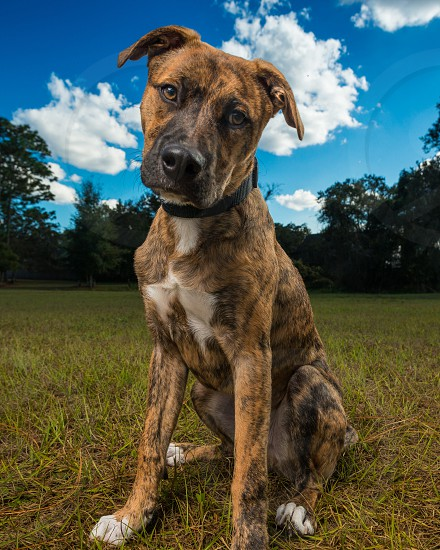 Photo of a brindle dog photo