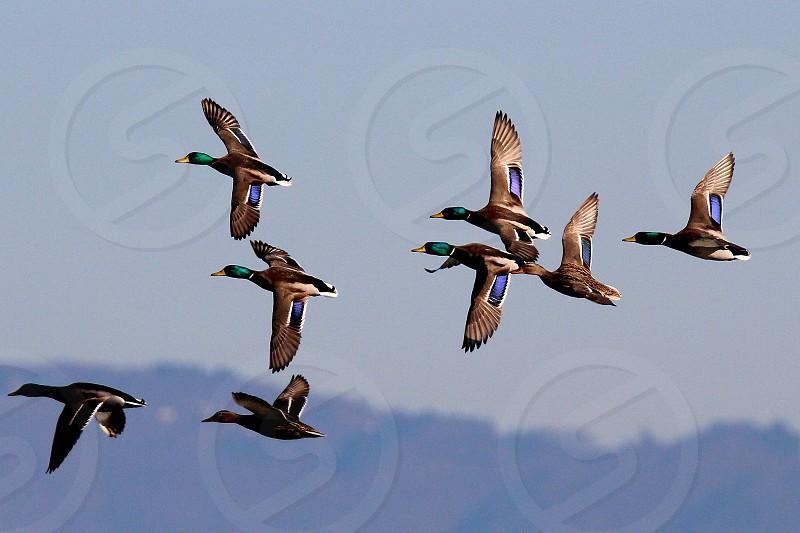 Mallard ducks flying photo