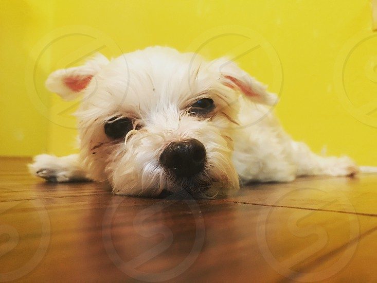Dog Maltese cute white purebred yellow white floor lazy family love photo