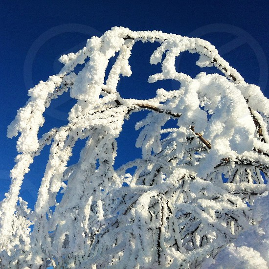 snow covered tree stems photo