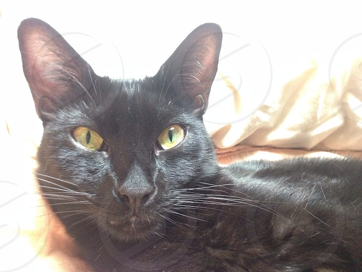 black short furred  cat photo