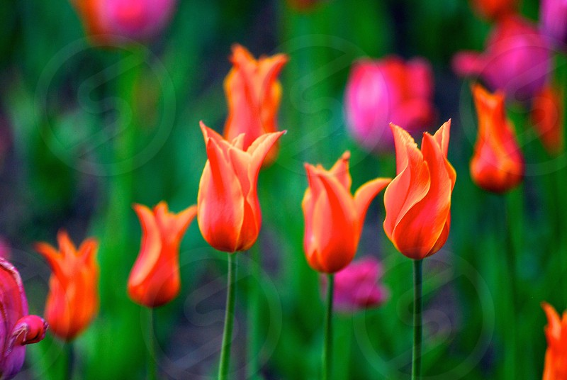 Tulips in the spring photo
