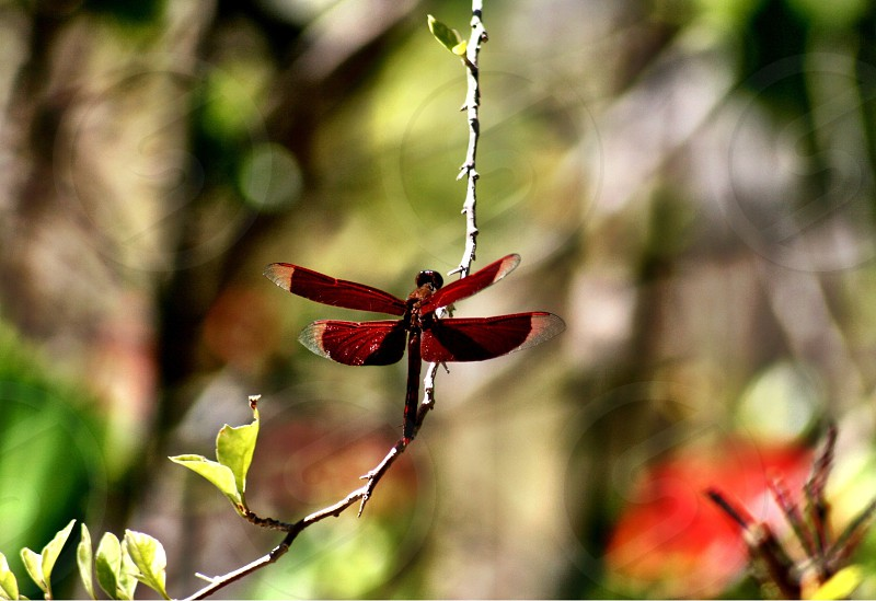 LisAm Dragonfly Maroon Resting Branches Animal Insect Macro photo