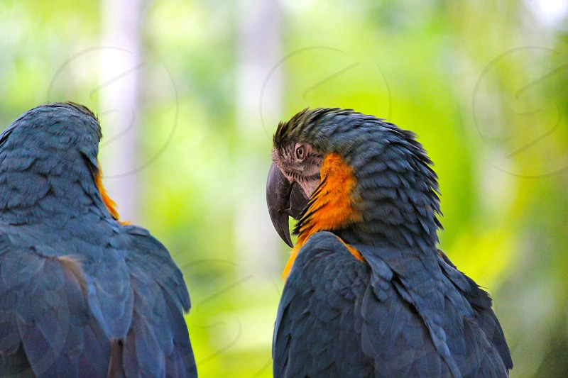 2 grey and yellow macaws photo