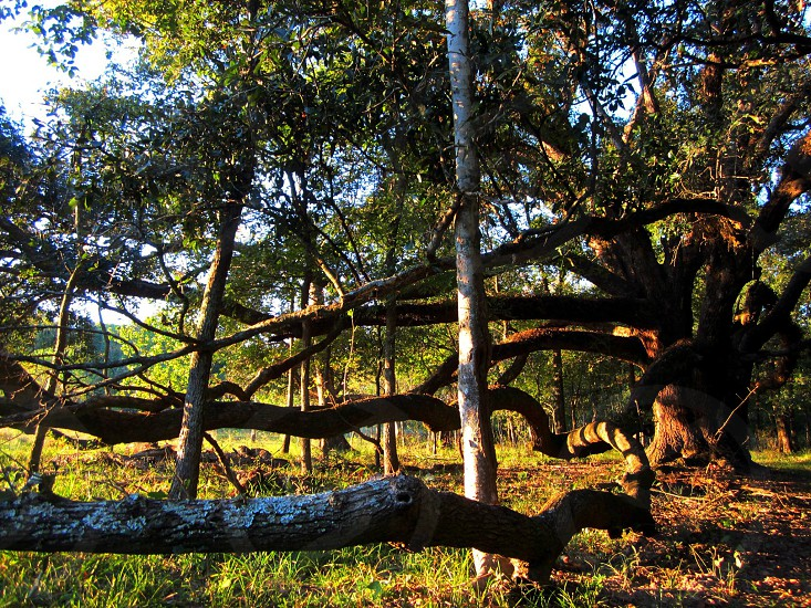 Live Oak on our property photo