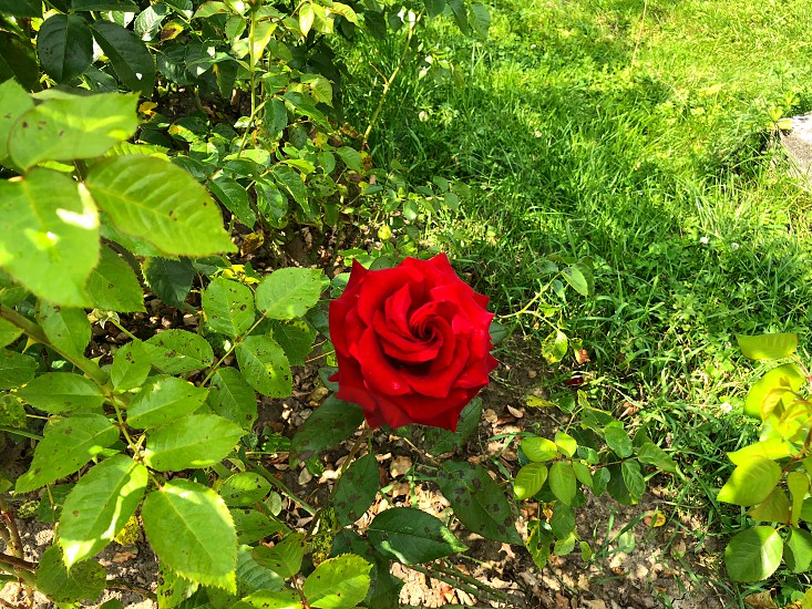 Alone red rose in city park. View from the outside. photo