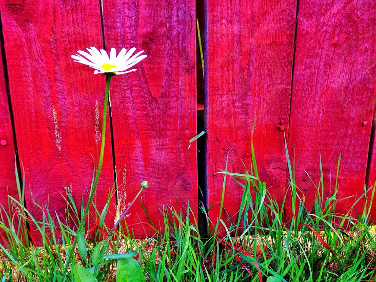 white daisy flower with green leaves near red wooden fence photo
