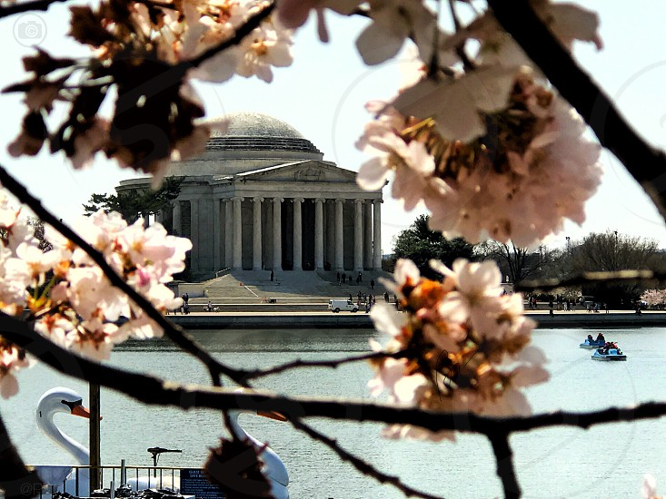 Cherry Blossom Washington DC tidal basin national mall spring in DC Thomas Jefferson photo