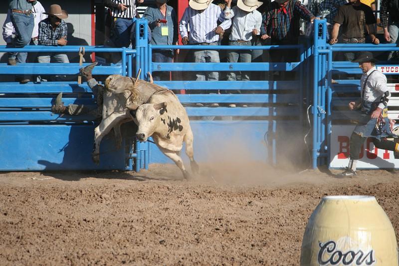 white bull on rodeo stadium photo