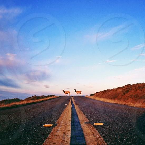 Brown elk photo