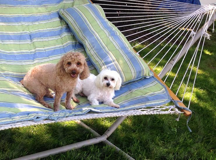 Puppy best friends on a hammock! photo