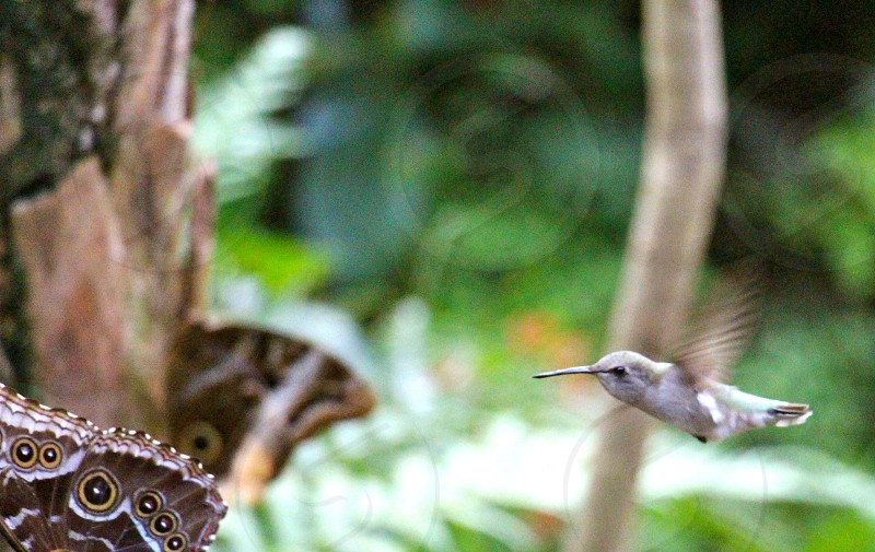 gray hummingbird flying by black gray brown butterflies perched on tree trunk photo
