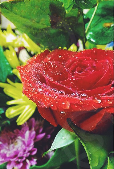 red flower with water drops photo