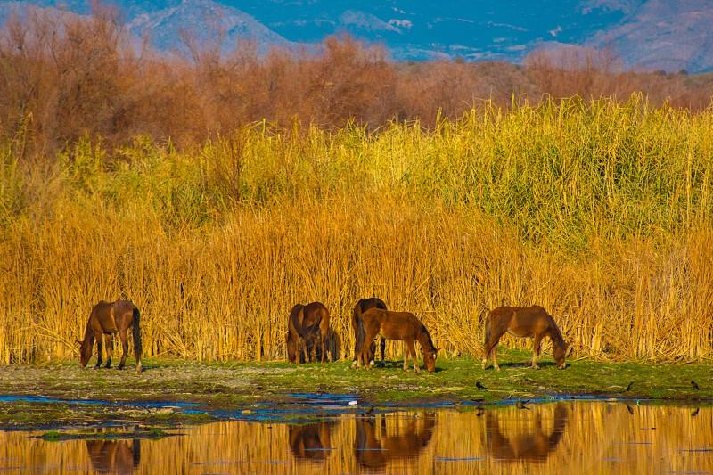 Wild horses on the Lower Salt River Tonto National Forest AZ photo