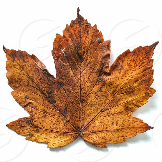 Autumn leaf isolated on a white background photo