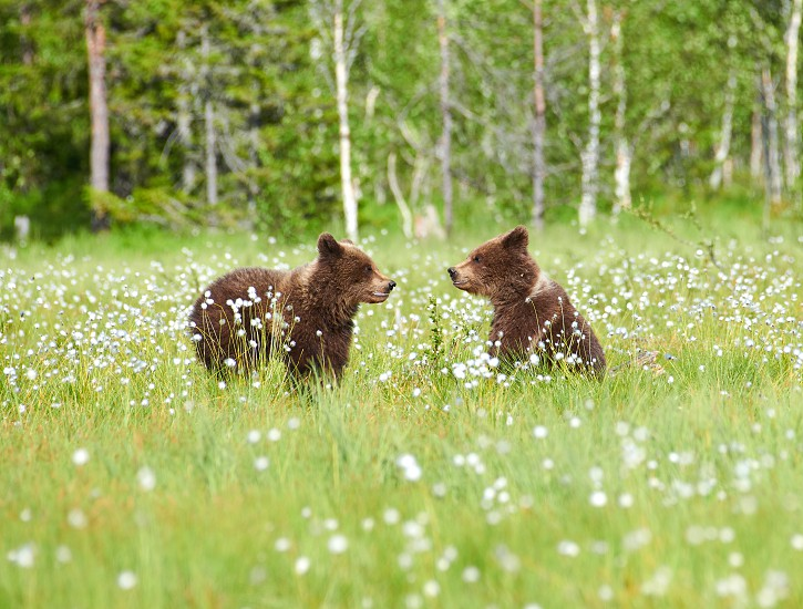 Two young brown bears in the middle of cottongrass flowers on a Finnish swamp in Eastern Finland on early summer evening photo