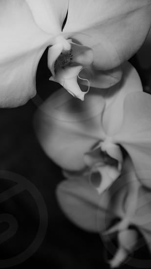 Magnolia in black and white photo