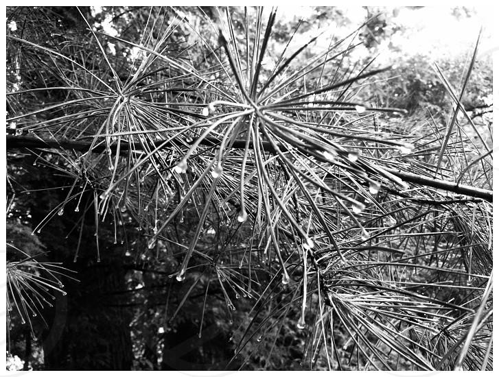 Black and white pine needles photo