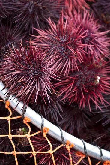 maroon round shaped spiny fruit photo