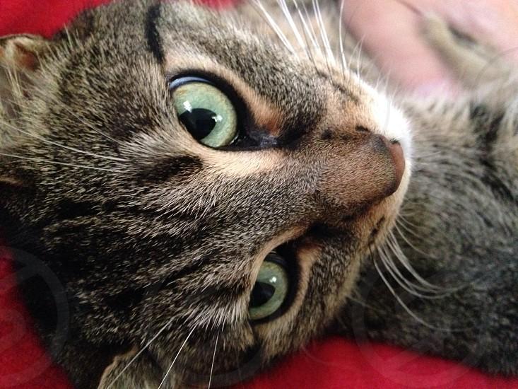 Tabby cat eyes photo