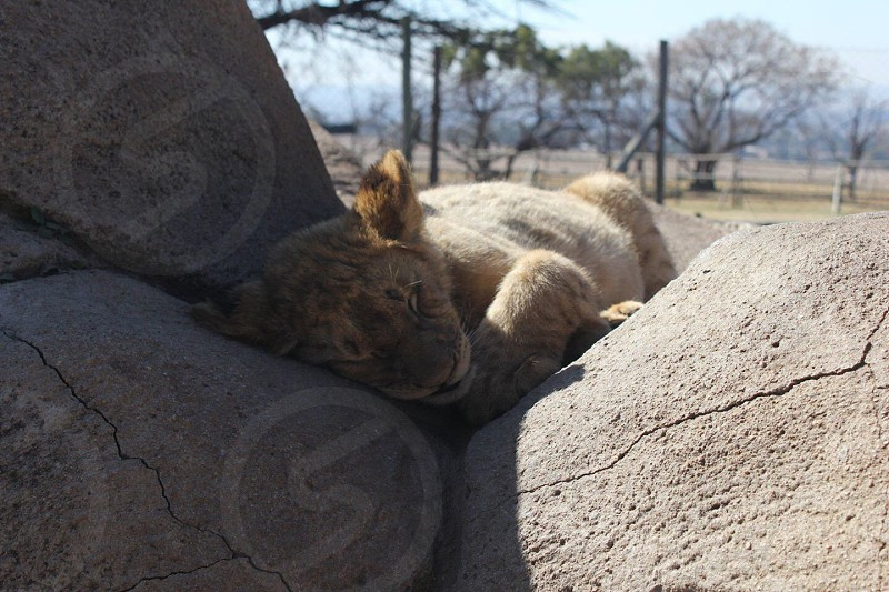 lion cub reclining on rock photo
