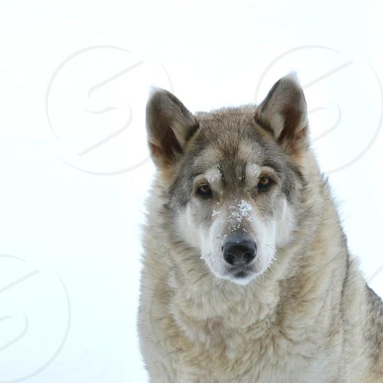 Zeus husky malamute wolfy snow on nose dog fur photo