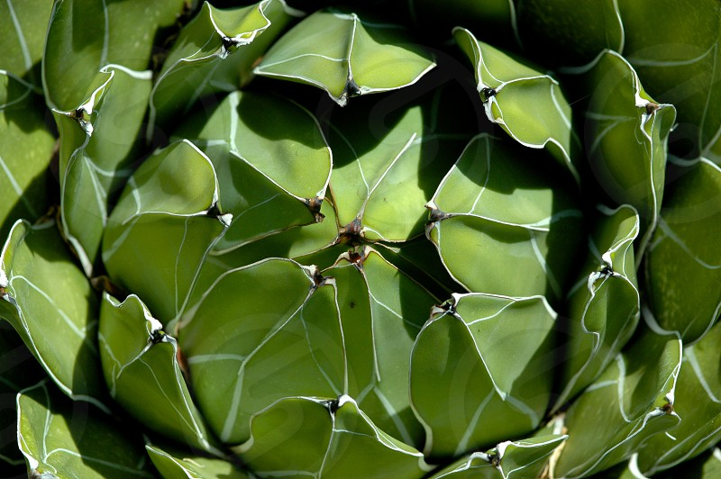 Succulent green plant leaves lines photo