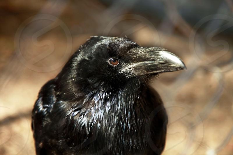 black raven photo