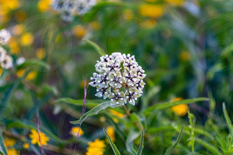 Milk weed wildflower flour monarchs butterflies butterfly migration migration green yellow Texas flowers photo