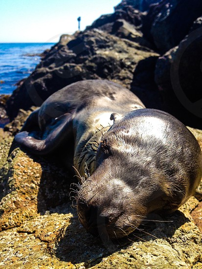 gray seal laying on brown and gray rock photo