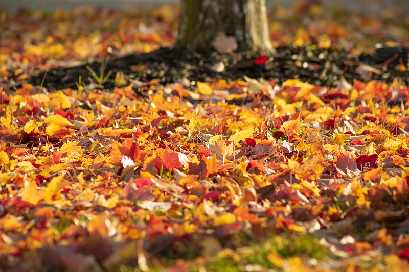 A ground level view of fall foliage on the ground near a tree. photo