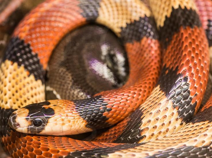 Red milk snake screwed. Close up photo