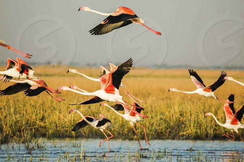birds flamingos flight fly flying greater flamingos fields motion water birds wildlife sanctuary photo