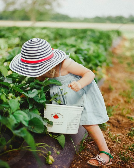 Little girl strawberry picking picking strawberries hat striped striped hat blue green blue dress black white black and white vegetables fruit picking fruit small little child children kids action pick hands bucket grip lean explore kid photo