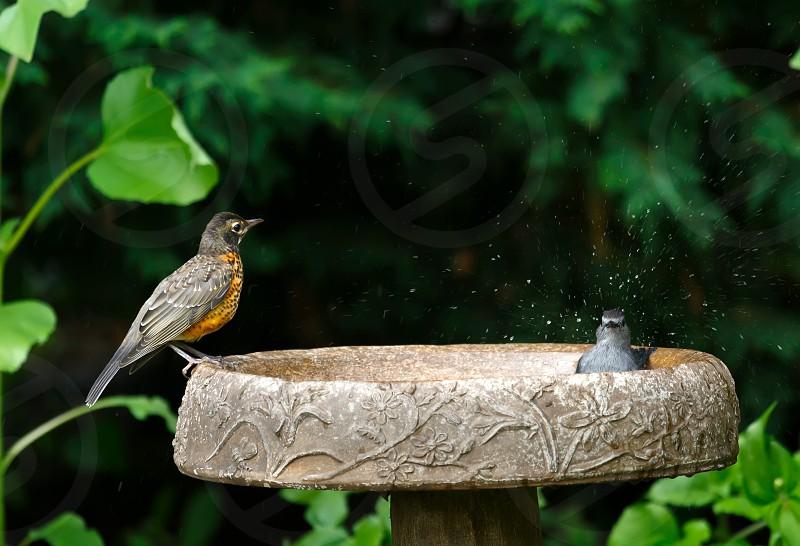 Birds in backyard bird bath photo